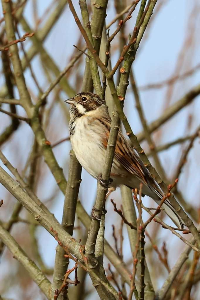 Reed Bunting by Brian Catwright - Feb 14th, Stockbridge