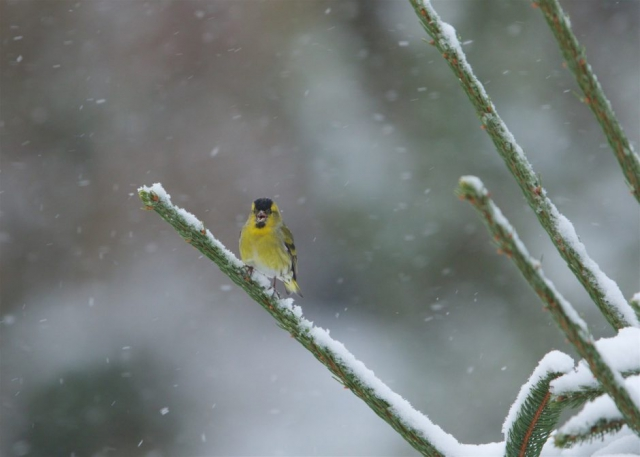 Siskin by Martin Bennett - Feb 1st, Furze Hill