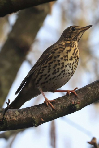 Song Thrush by Brian Catwright - Feb 14th, Anton Lakes