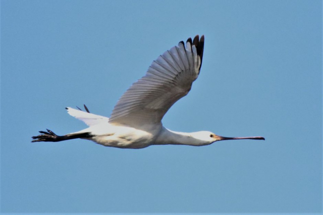 Spoonbill by Andy Tew - Jan 30th, Pennington