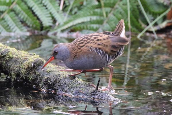 Water Rail by Andy Tew - Feb 6th, Blashford Lakes