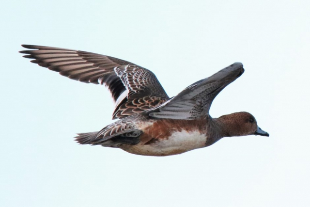 Wigeon by Andy Tew - Jan 30th, Pennington
