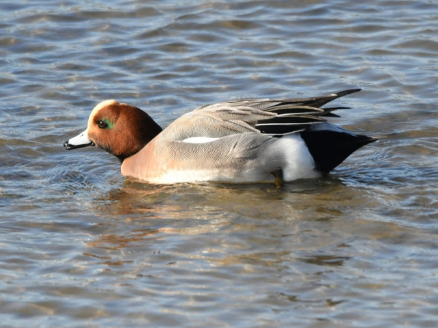 Wigeon by Dave Levy - Feb 14th, Warsash