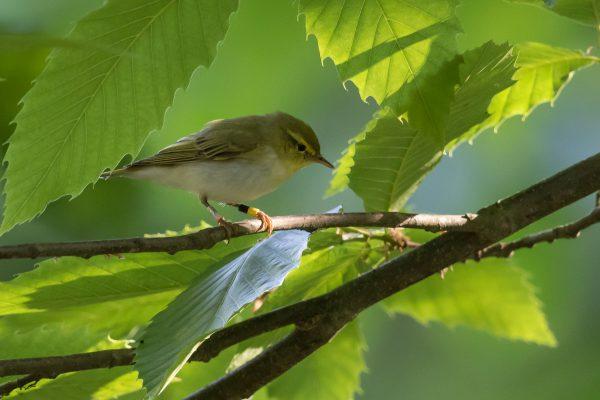Wood Warbler by SG Davis