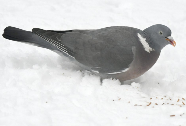 Woodpigeon by Dave Levy - Feb 1st, Basingstoke