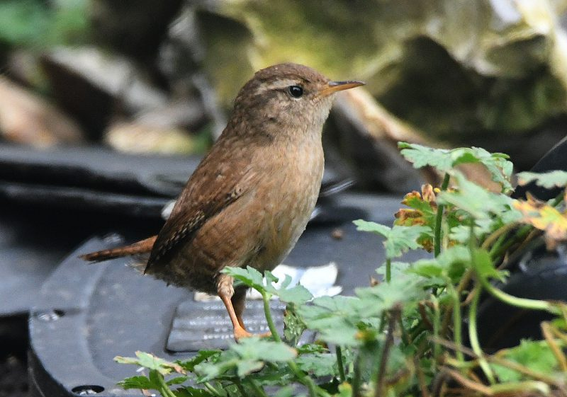 Wren by Dave Levy - Feb 11th, Basingstoke