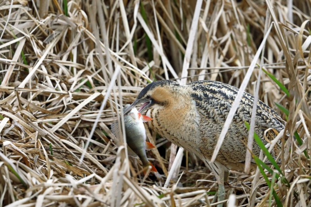 Bittern by Richard Jacobs - March 1st, Blashford Lakes