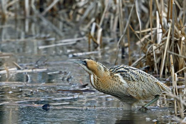 Bittern by Richard Jacobs - March 4th, Blashford Lakes