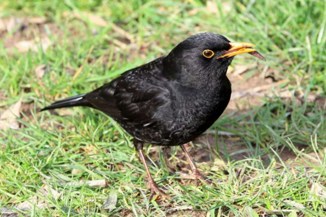 Blackbird by Brian Cartwright - March 17th, Anton Lakes
