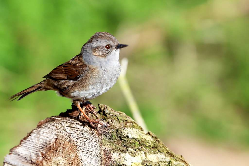 Dunnock by Brian Cartwright - March 5th, Anton Lakes