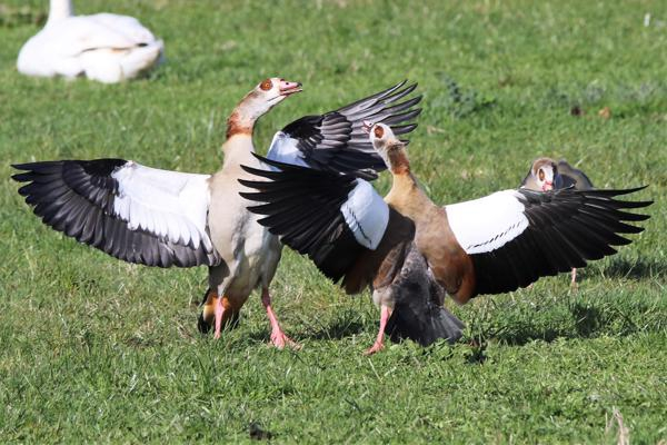 Egyptian Goose by Andy Tew - March 11th, Harbridge
