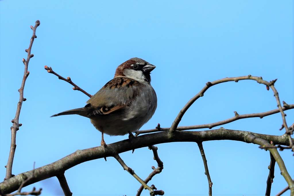 House Sparrow by Brian Cartwright - March 5th, Anton Lakes