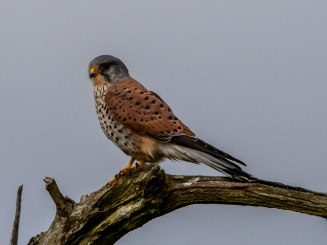 Kestrel by Mike Duffy - March 20th, Needs Ore