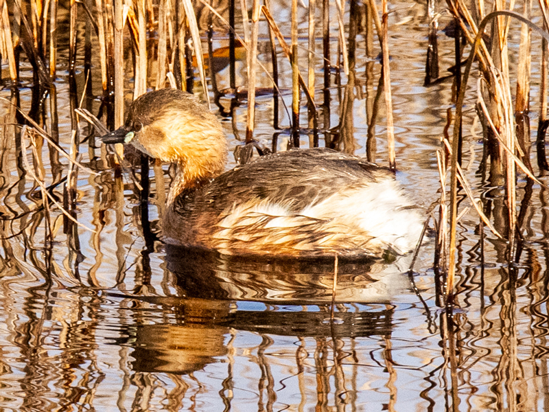 Little Grebe by Mike Duffy - March 1st, Farlington Marshes