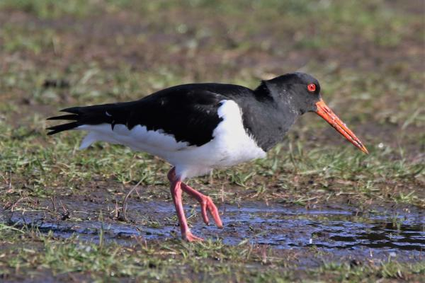 Oystercatcher by Andy Tew - March 7th, Southampton