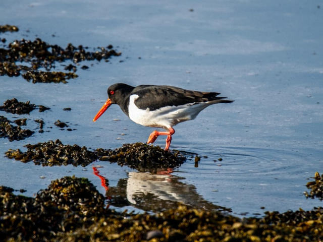 Oystercatcher by Mike Duffy - March 1st, Farlington Marshes