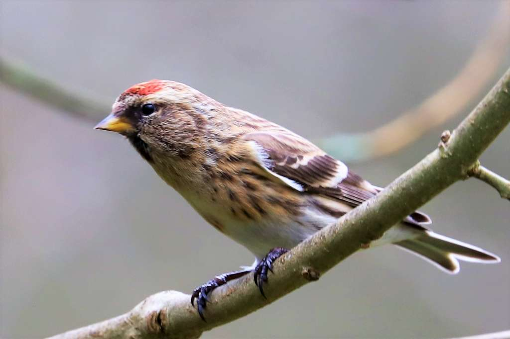 Redpoll by Brian Cartwright - March 16th, Blashford Lakes