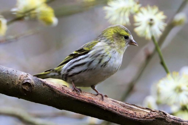 Siskin by Brian Cartwright - March 16th, Blashford Lakes