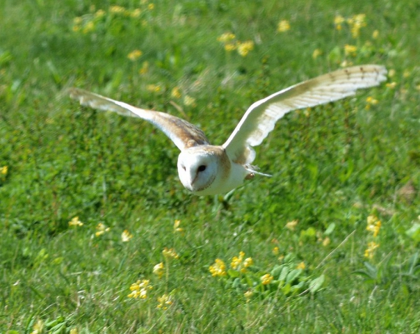 Barn Owl by Dave Levy - Apr 23rd, Basingstoke