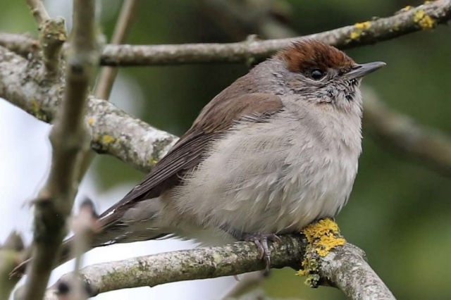 Blackcap by Brian Cartwright - Apr 16th, Anton Lake