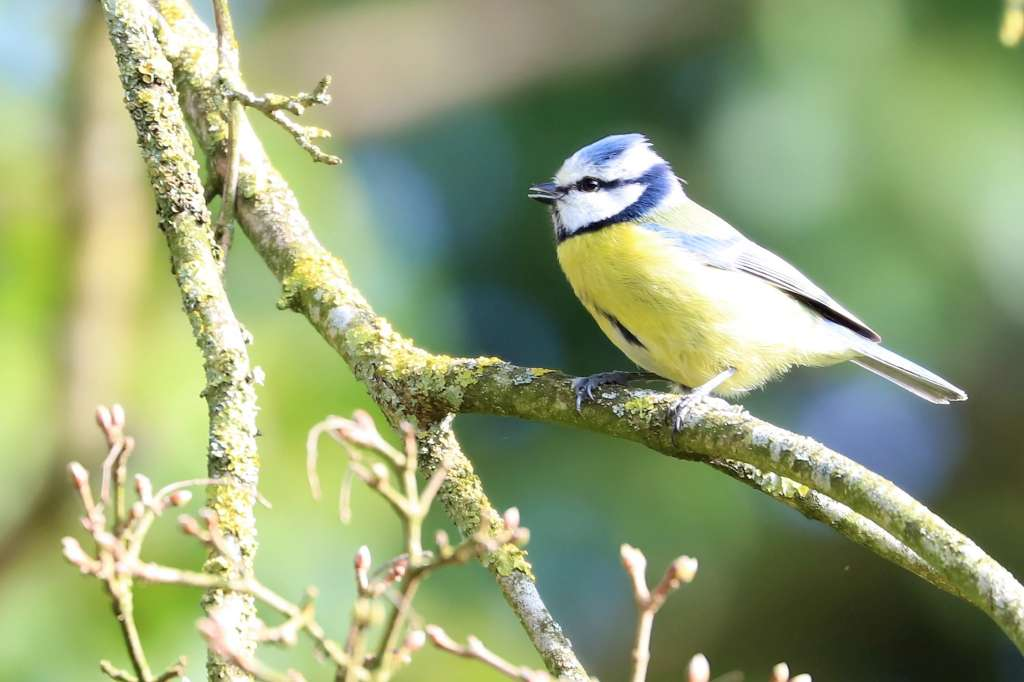 Blue Tit by Brian Cartwright - March 30th, Anton Lakes