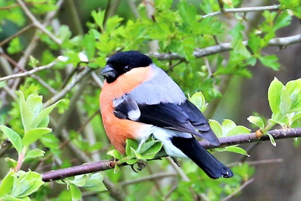 Bullfinch by Brian Cartwright - Apr 16th, Anton Lake