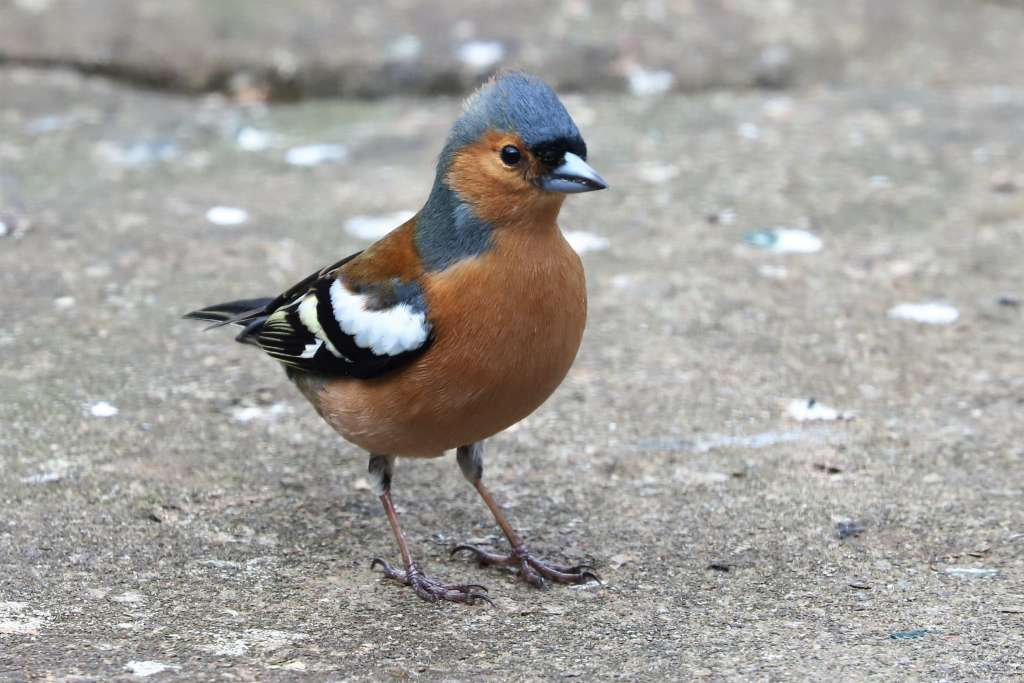 Chaffinch by Brian Cartwright - March 23rd, Anton Lakes