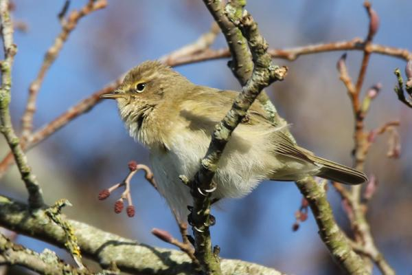 Chiffchaff by Andy Tew - March 25th, Keyhaven