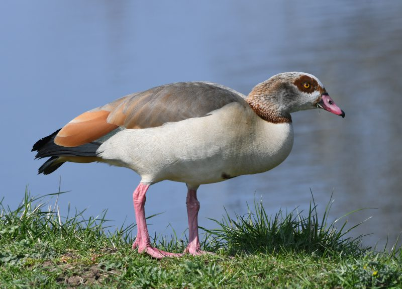 Egyptian Goose by Dave Levy - Mar 29th, Edenbrook CP