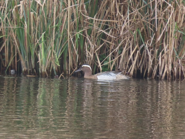 Garganey by Kay Shillitoe - Apr 8th, Fishlake Meadows