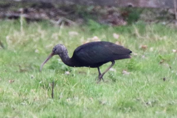 Glossy Ibis by Andy Tew - Apr 10th, Fishlake Meadows