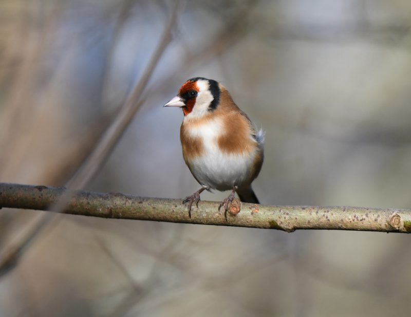 Goldfinch by Dave Levy - Mar 31st, Basingstoke