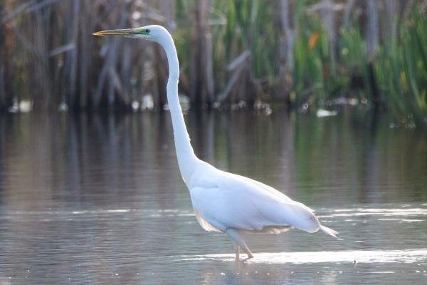 Great White Egret by Andy Tew - Apr 7th, Fishlake Meadows