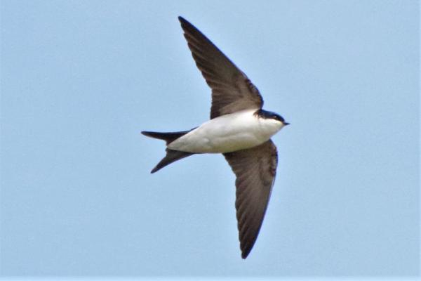 House Martin by Andy Tew - Apr 13th, Pennington