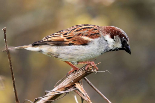 House Sparrow by Brian Cartwright - Apr 16th, Anton Lake