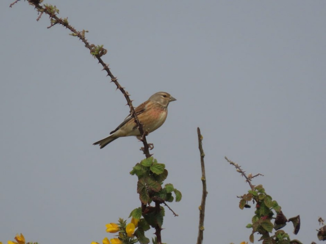 Linnet by Kay Shillitoe - Apr 17th, Pennington Marshes