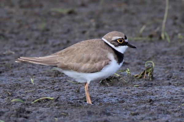 Little Ringed Plover by Andy Tew - Apr 13th, Pennington.