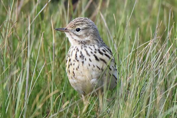 Meadow Pipit by Andy Tew - Apr 13th, Pennington