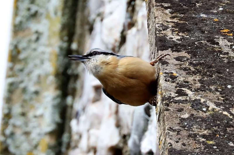 Nuthatch by Brian Cartwright - Apr 3rd, Andover