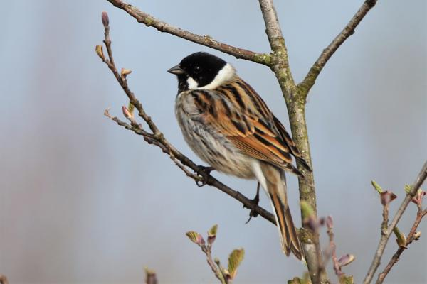 Reed Bunting by Andy Tew - Apr 7th, Fishlake Meadows