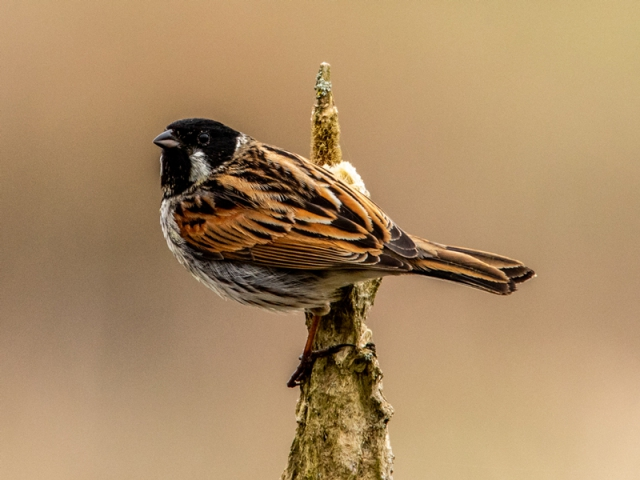 Reed Bunting by Mike Duffy - Mar 26th, Edenbrook CP