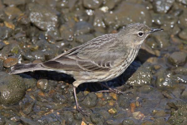 Rock Pipit by Andy Tew - March 26th, Keyhaven