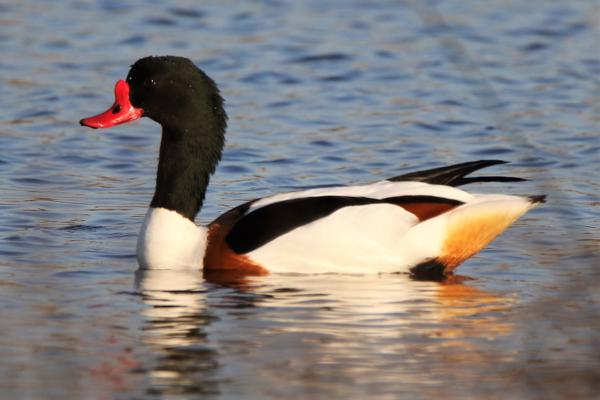 Shelduck by Andy Tew - Apr 10th, Fishlake Meadows