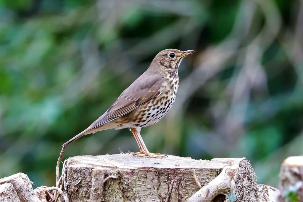 Song Thrush by Brian Cartwright - March 20th, Anton Lakes