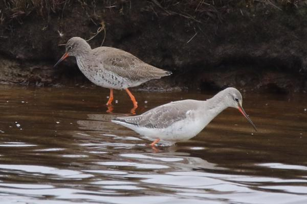Spotted Redshank and Redshank by Andy Tew - March 22nd, Pennington