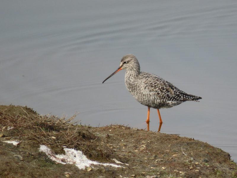 Spotted Redshank by Kay Shillitoe - Apr 17th, Pennington Marshes