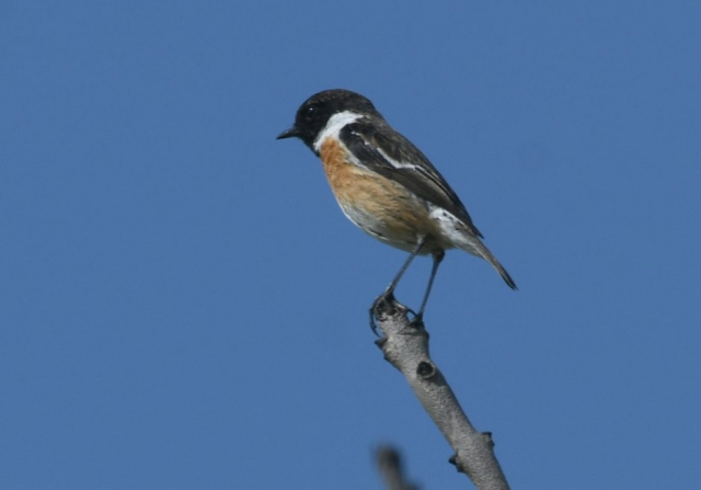 Stonechat by Dave Levy - Mar 29th, Edenbrook CP