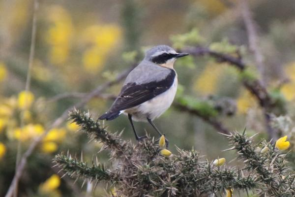 Wheatear by Andy Tew - March 22nd, Pennington