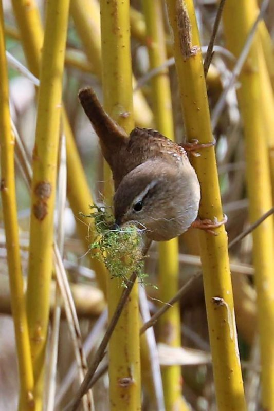 Wren by Brian Cartwright - Apr 10th, Anton Lakes