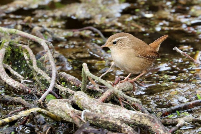 Wren by Brian Cartwright - March 27th, Anton Lakes